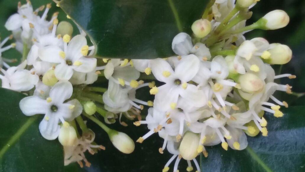 Holly ( ilex aquifolium)